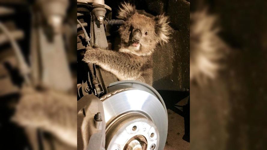 Koala Takes A 10-Mile Journey Clinging To Strut Assembly