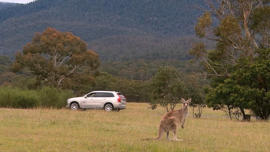 Volvo'nun otonom teknolojisi zıplayan kanguruları göremiyor